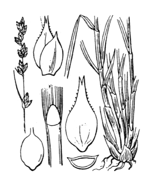 Carex divulsa Stokes [1787] - illustration de coste