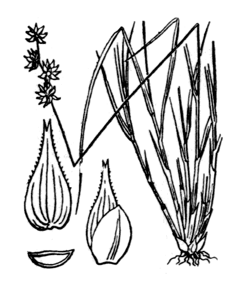 Carex echinata Murray - illustration de coste