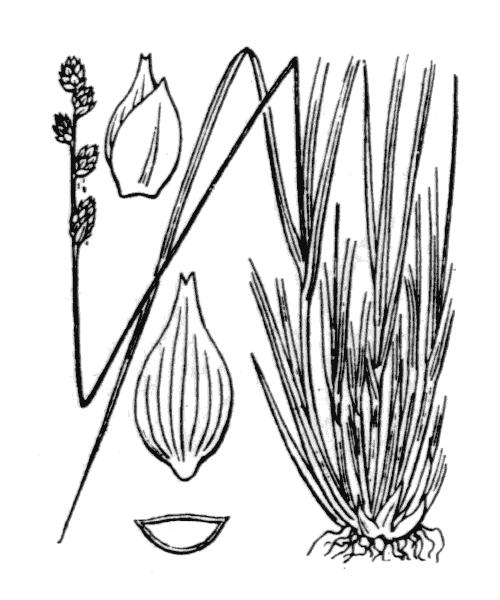 Carex canescens L. - illustration de coste