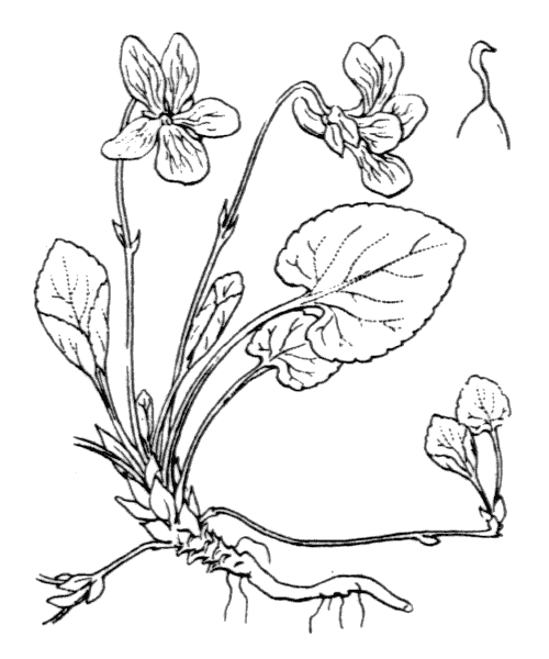 Viola odorata L. - illustration de coste