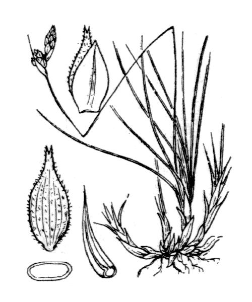 Carex mucronata All. [1785] - illustration de coste