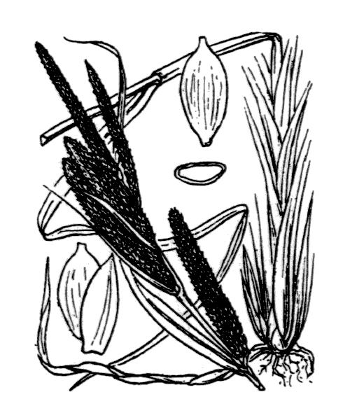Carex acuta L. - illustration de coste
