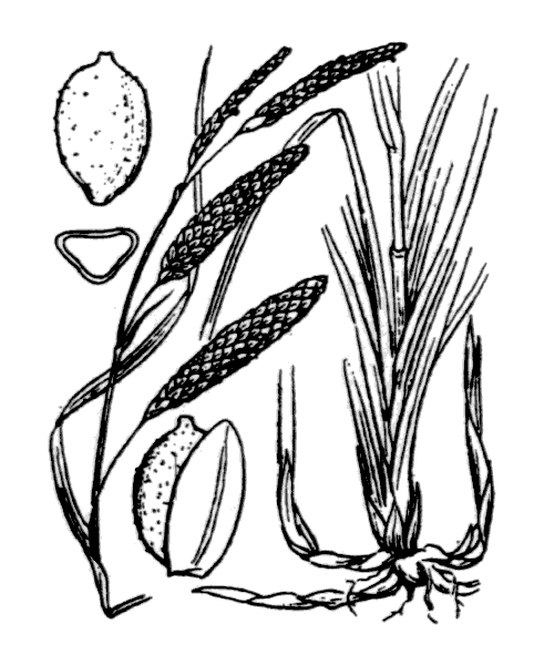 Carex flacca Schreb. subsp. flacca - illustration de coste
