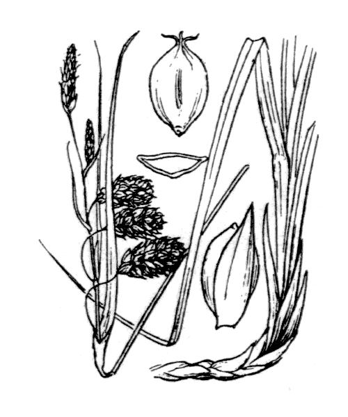 Carex flacca subsp. claviformis (Hoppe) Schinz & Thell. - illustration de coste