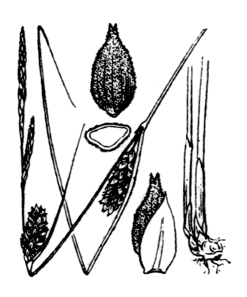 Carex tomentosa L. - illustration de coste