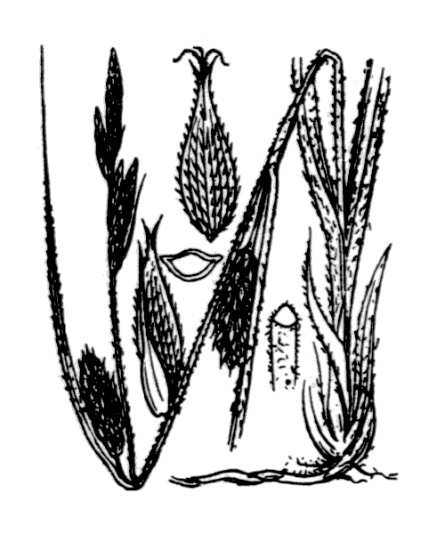 Carex hirta L. - illustration de coste