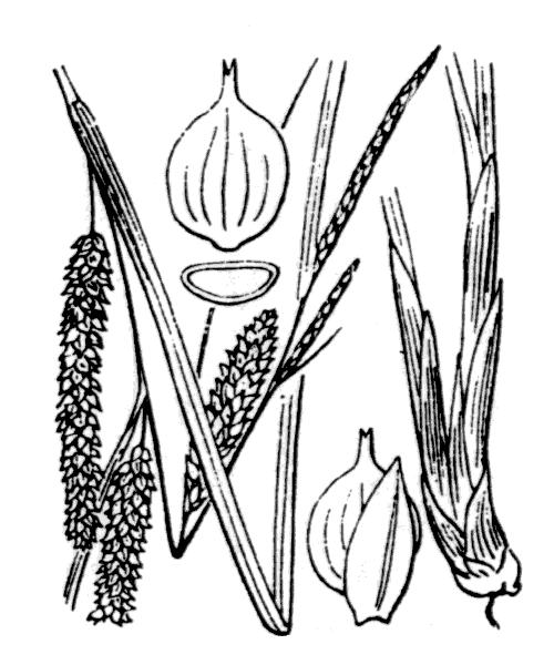 Carex rostrata Stokes - illustration de coste