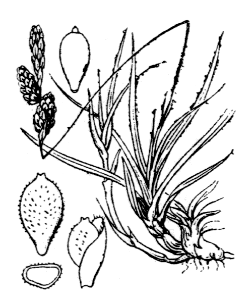 Carex ericetorum Pollich - illustration de coste