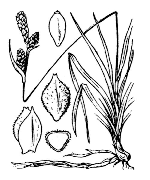Carex caryophyllea Latourr. var. caryophyllea - illustration de coste