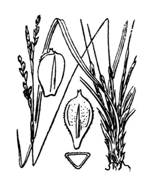 Carex digitata L. - illustration de coste