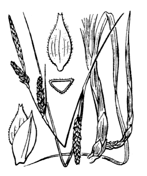 Carex fimbriata Schkuhr - illustration de coste