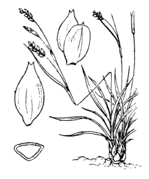 Carex capillaris L. - illustration de coste