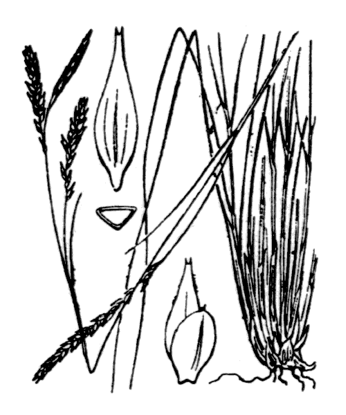 Carex brachystachys Schrank - illustration de coste