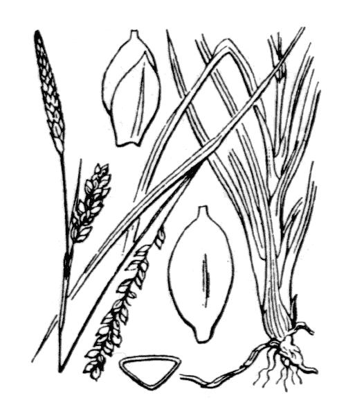 Carex panicea L. - illustration de coste