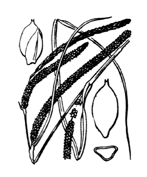Carex pendula Huds. - illustration de coste
