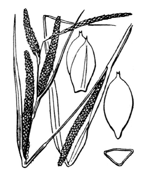 Carex microcarpa Bertol. ex Moris - illustration de coste