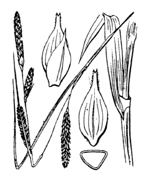 Carex laevigata Sm. - illustration de coste