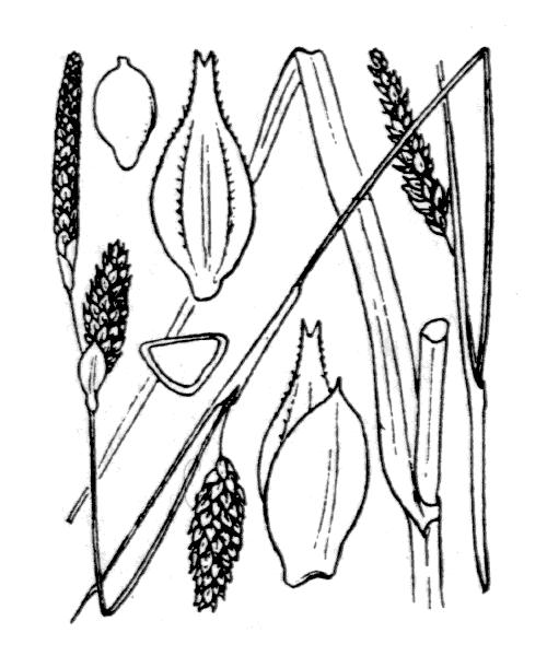Carex binervis Sm. - illustration de coste