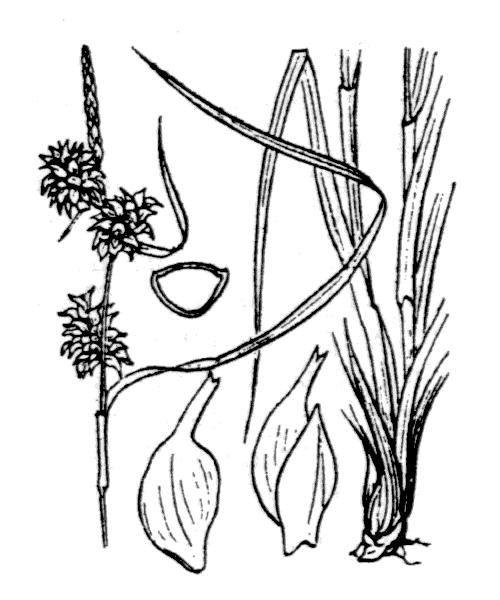 Carex flava L. - illustration de coste