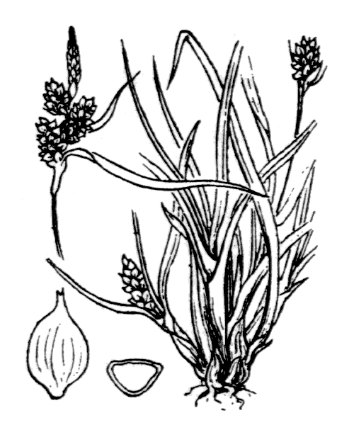 Carex viridula Michx. - illustration de coste