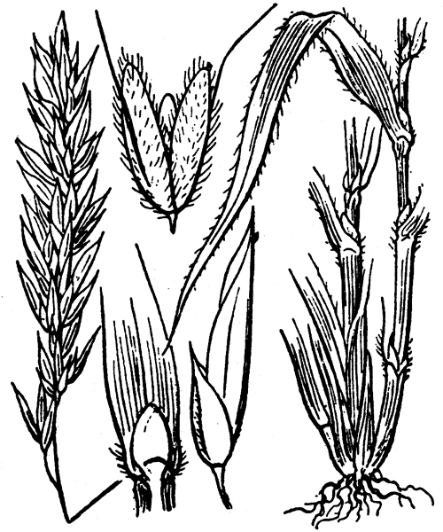 Anthoxanthum odoratum L. - illustration de coste