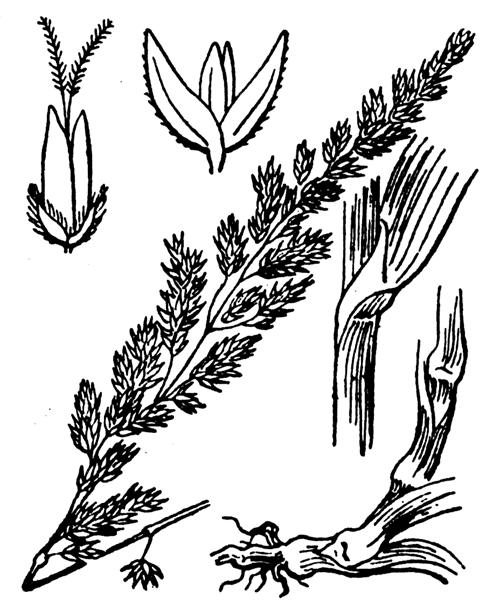 Phalaris arundinacea L. [1753] - illustration de coste