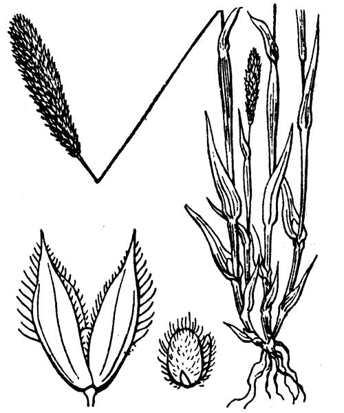 Phleum arenarium L. - illustration de coste