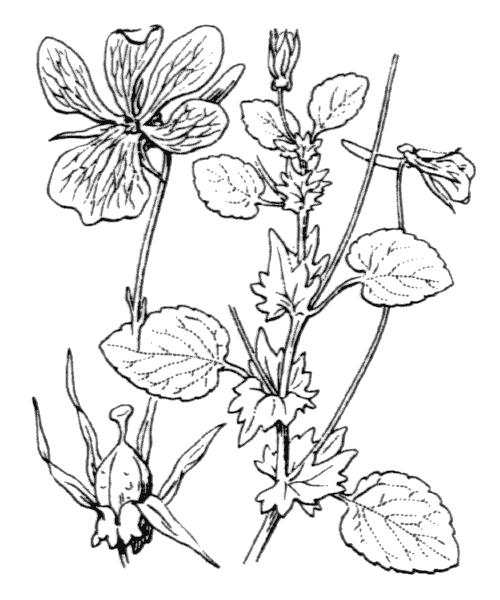 Viola cornuta L. - illustration de coste