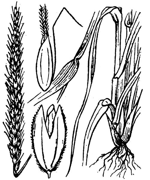 Alopecurus myosuroides Huds. - illustration de coste