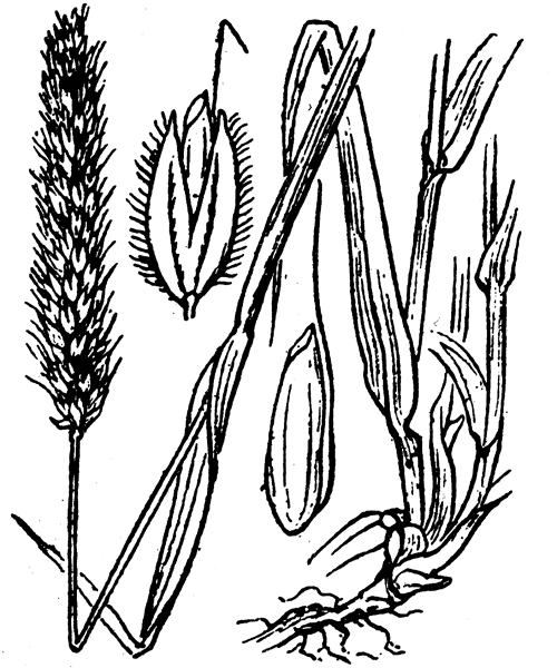 Alopecurus pratensis L. - illustration de coste
