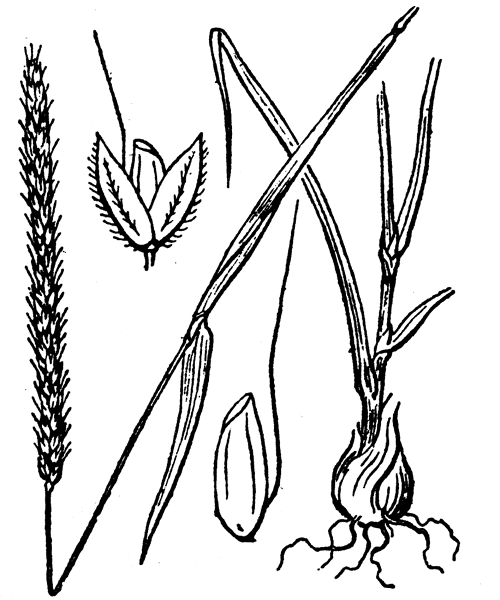 Alopecurus bulbosus Gouan - illustration de coste