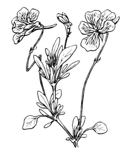 Viola valderia All. - illustration de coste