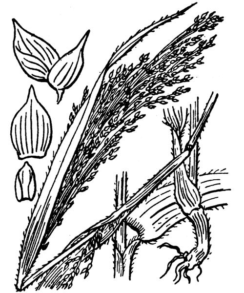 Panicum miliaceum L. - illustration de coste