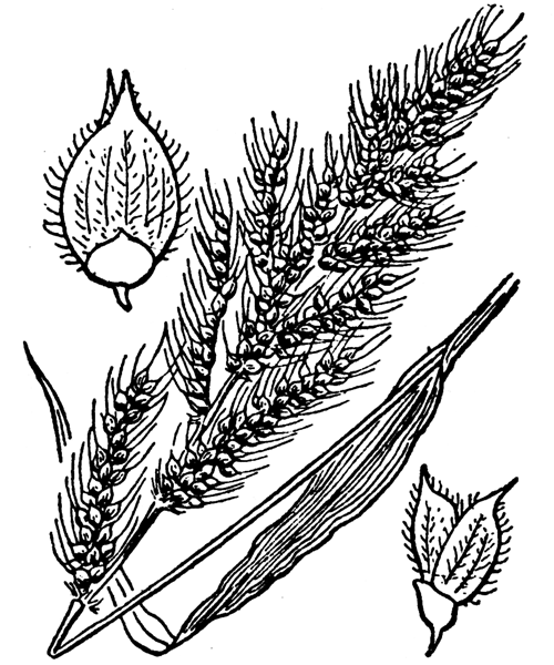 Echinochloa crus-galli (L.) P.Beauv. - illustration de coste