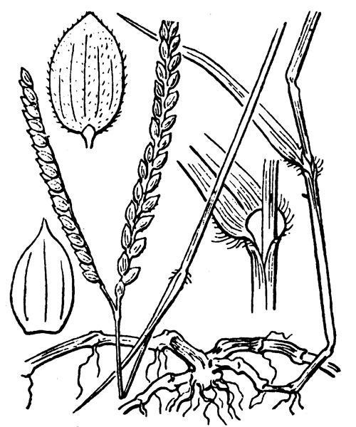 Paspalum distichum L. - illustration de coste