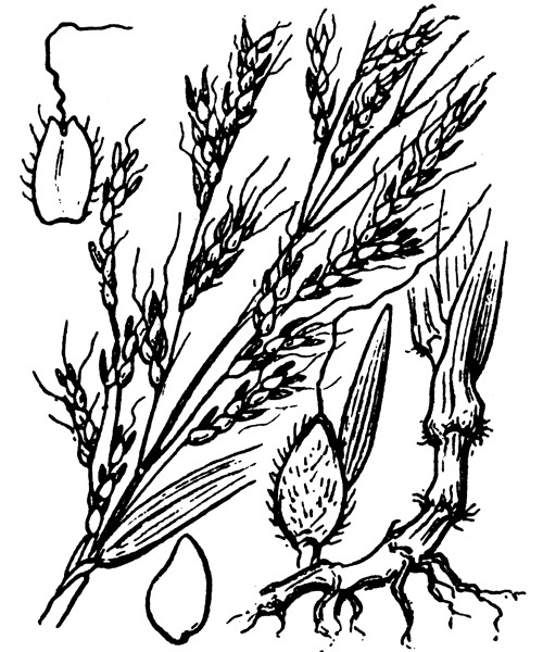 Sorghum halepense (L.) Pers. - illustration de coste
