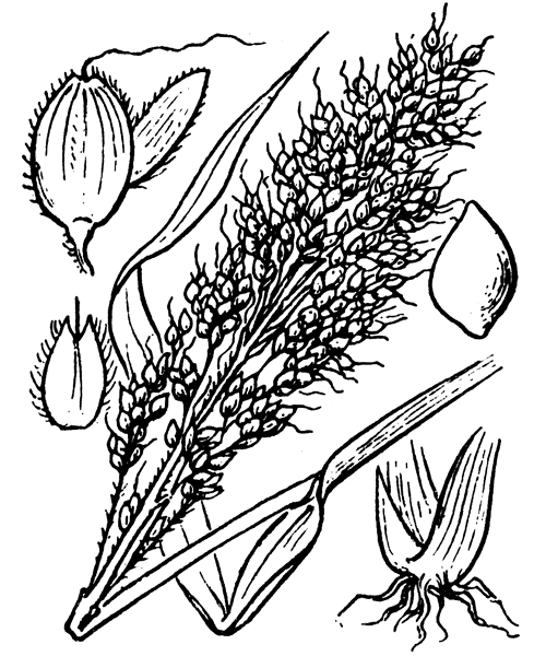 Sorghum bicolor (L.) Moench - illustration de coste