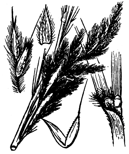 Tripidium ravennae (L.) H.Scholz - illustration de coste