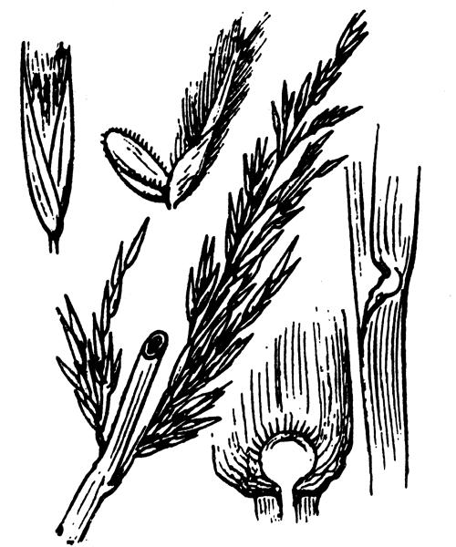 Arundo donax L. - illustration de coste