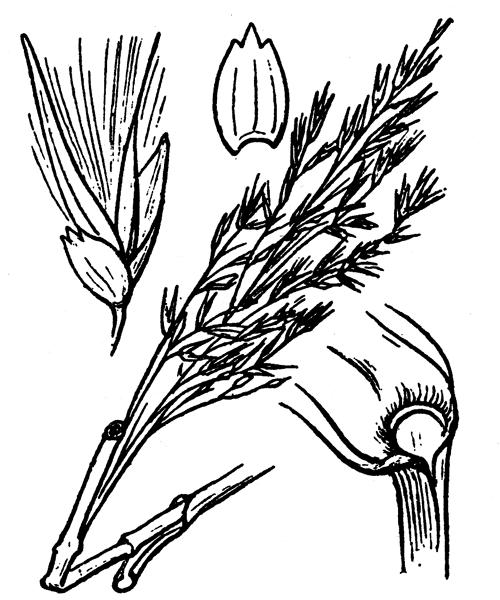 Phragmites australis subsp. chrysanthus (Mabille) Soják - illustration de coste
