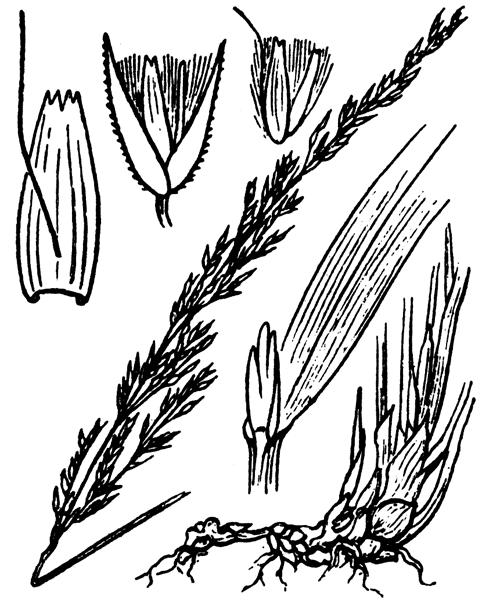 Calamagrostis arundinacea (L.) Roth - illustration de coste