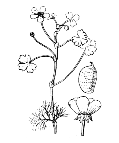 Ranunculus ololeucos J.Lloyd [1844] - illustration de coste