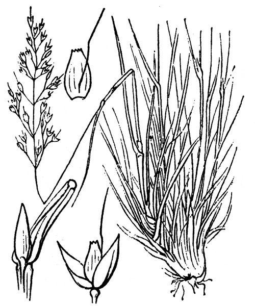 Agrostis rupestris All. [1785] - illustration de coste