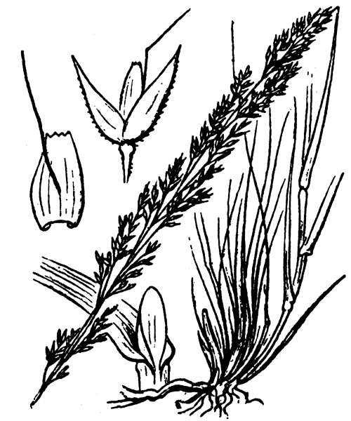 Agrostis canina L. - illustration de coste