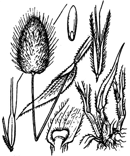 Lagurus ovatus L. - illustration de coste