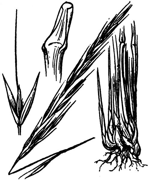 Achnatherum bromoides (L.) P.Beauv. - illustration de coste