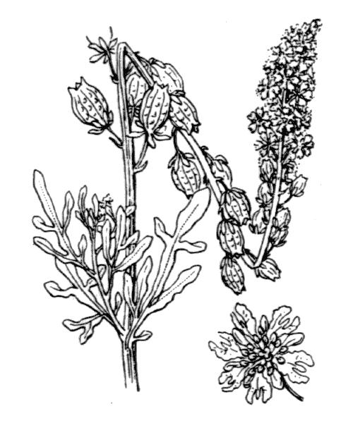 Reseda lutea L. [1753] - illustration de coste