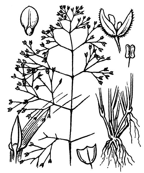 Antinoria insularis Parl. - illustration de coste