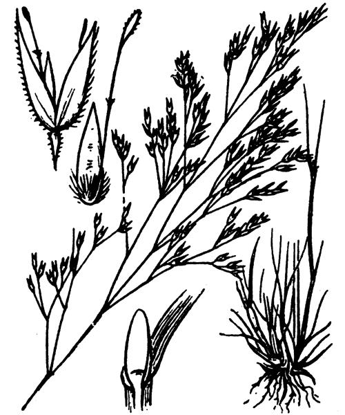 Corynephorus divaricatus (Pourr.) Breistr. - illustration de coste