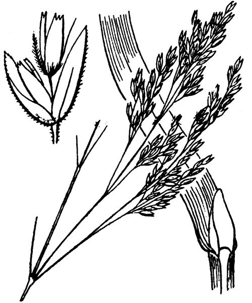 Deschampsia cespitosa (L.) P.Beauv. - illustration de coste